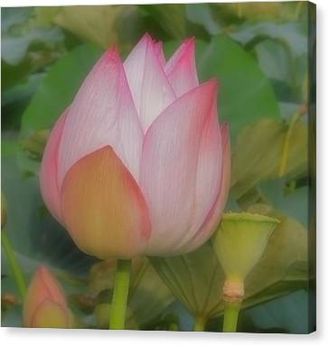 Lotus Flower Canvas Print by Chad and Stacey Hall