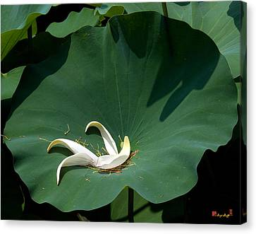 Lotus Leaf--castoff IIi Dl060 Canvas Print by Gerry Gantt