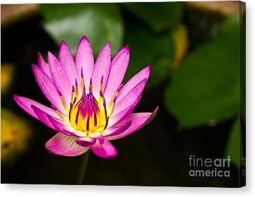 Lotus Canvas Print by Mongkol Chakritthakool