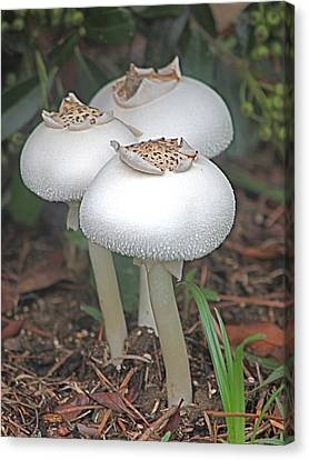 Lovely Trio Canvas Print by Jeanne Kay Juhos