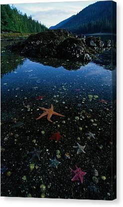 Low Tide Reveals A Galaxy Of Bat Stars Canvas Print by Raymond Gehman