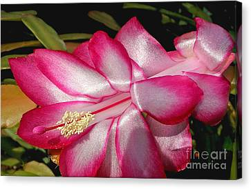 Luminous Cactus Flower Canvas Print by Kaye Menner