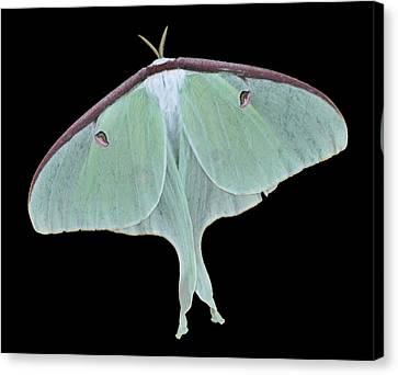 Luna Moth Canvas Print by Paul Ward