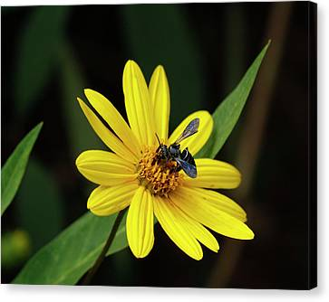 Lunch At Coreopsis Canvas Print by Sandra Anderson