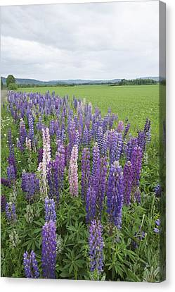 Lupines In A Field With Mountains In Canvas Print by Susan Dykstra