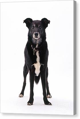 Lurcher With Cataracts Canvas Print by Jane Burton