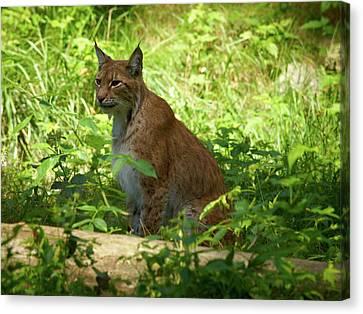 Lynx Canvas Print by Jouko Lehto