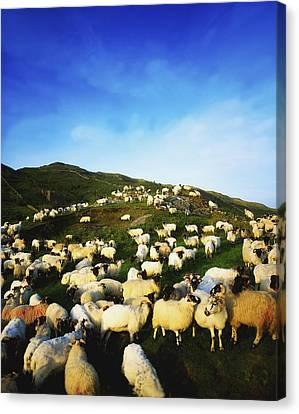 Maam Cross, Co Galway, Ireland Sheep Canvas Print