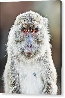 Macaque Portrait Canvas Print by MotHaiBaPhoto Prints