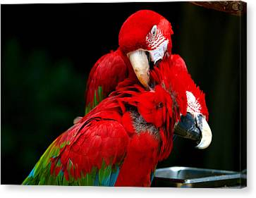 Macaws Canvas Print by Paul Ge