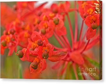 Macro Euphorbia Fireglow Plant Canvas Print by Valerie Garner