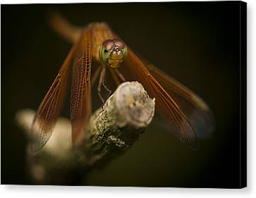 Macro Photograph Of A Dragonfly On A Twig Canvas Print by Zoe Ferrie