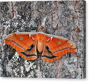 Madam Moth Canvas Print by Al Powell Photography USA