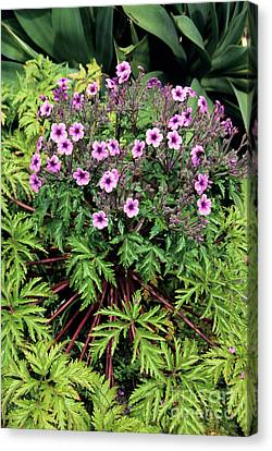 Madeiran Cranesbill Canvas Print by Adrian Thomas