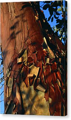 Madrone Tree Bark Canvas Print by Alan Sirulnikoff