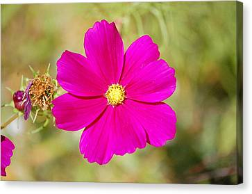 Magenta In Bloom Canvas Print