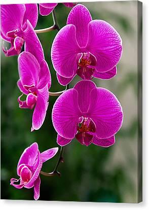 Magenta Orchid Medley Canvas Print by Anna Rumiantseva
