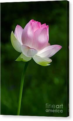 Magical Lotus Flower Canvas Print