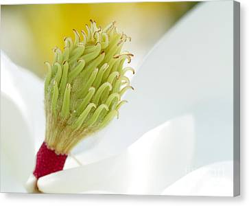 Florida Flowers Canvas Print - Magnificant Magnolia Macro  by Sabrina L Ryan