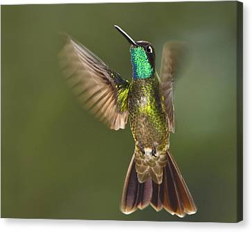 Magnificent Canvas Print by Tony Beck