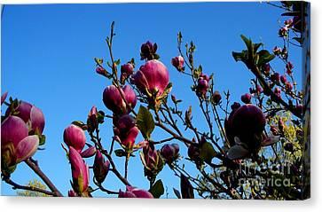 Magnolia Blloming Canvas Print by Tanya  Searcy