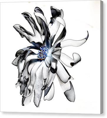 Magnolia Bloom Canvas Print