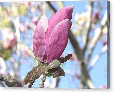Canvas Print featuring the photograph Magnolia Bud by Susan Alvaro