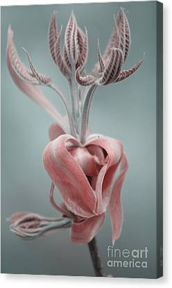 Magnolia  Canvas Print by September  Stone