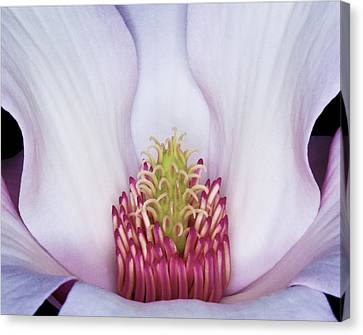 Magnolia Impression Number 2 Canvas Print by Charles Dana