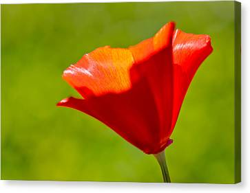 Mahogany California Poppy IIi Canvas Print by Heidi Smith