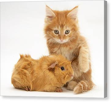 Cavy Canvas Print - Maine Coon Kitten And Guinea Pig by Jane Burton