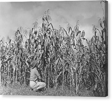 Maize Farming Canvas Print by Bert Hardy
