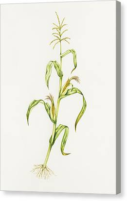 Maize (zea Mays) Canvas Print by Lizzie Harper