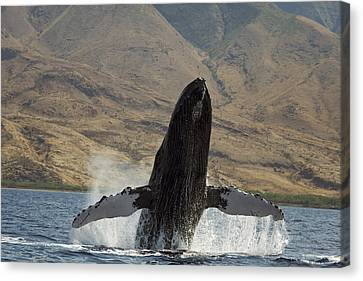 Majestic Breaching Whale Canvas Print by Dave Fleetham