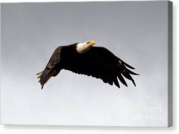 Canvas Print featuring the photograph Majestic Flight by Polly Peacock