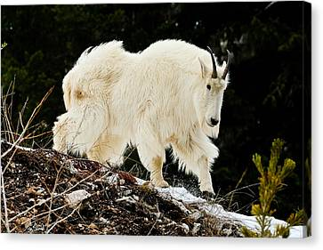 Majestic Mountain Goat Le Canvas Print by Greg Norrell