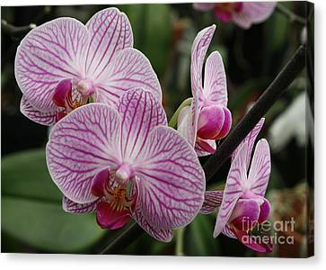 Majestic Orchids Canvas Print by Carol Groenen
