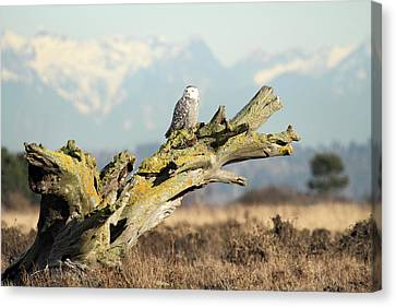 Majestic Snowy Owls Canvas Print by Pierre Leclerc Photography