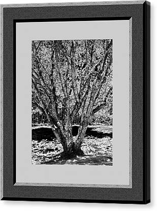Majestic Tree  Lv Canvas Print by Daryl Macintyre