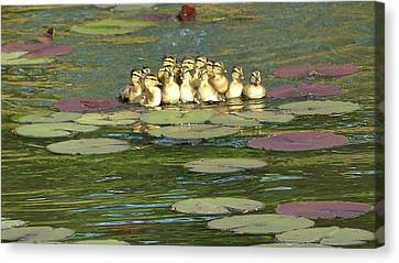 Canvas Print featuring the photograph Make Way For Ducklings by Mary Zeman