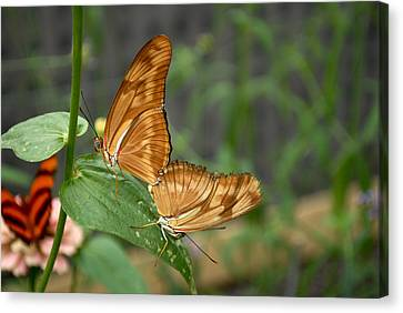 Malachite Butterflies Mating Canvas Print