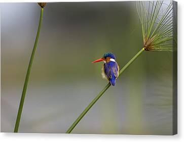 Malachite Kingfisher On A Grass Stem Canvas Print by Roy Toft