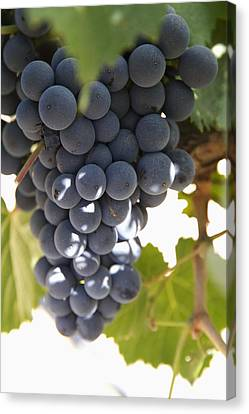 Malbec Grapes On The Vine Canvas Print by Peter Langer