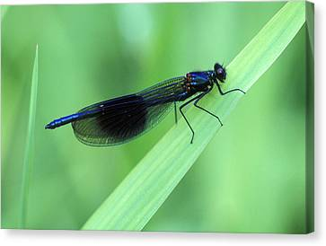 Male Banded Damselfly Canvas Print by Dr Keith Wheeler