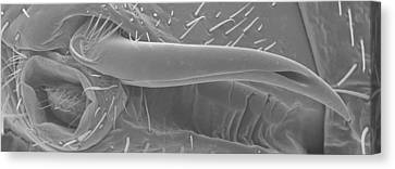 Male Bedbug's Sexual Organ, Sem Canvas Print by Power And Syred