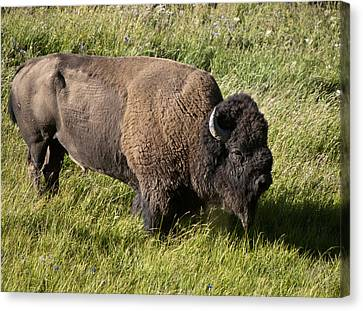 Male Bison Grazing  Canvas Print by Paul Cannon