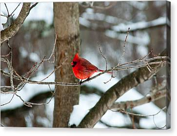 Male Cardinal In Winter Canvas Print by Ron Smith