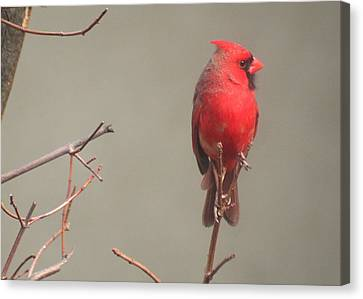 Canvas Print featuring the photograph Male Cardinal On A Branch by Laurel Talabere