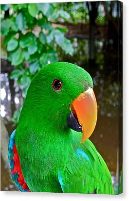 Male Eclectus Parrot II Canvas Print by Kirsten Giving