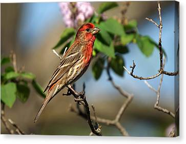 Male Finch Canvas Print by Alan Hutchins